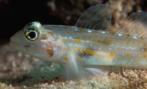 offshore bridled goby