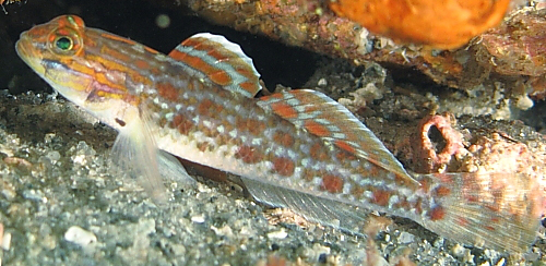 pelvic fin, bartail goby