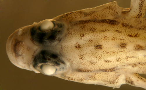 identification of coryphopterus eidolon