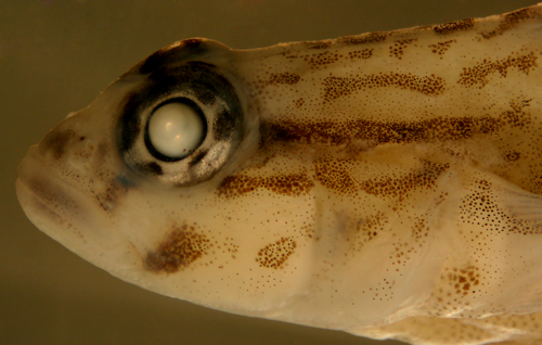 larval fish coryphopterus and goby larvae