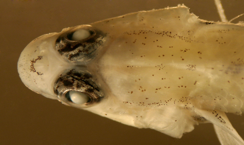 head of bartail goby