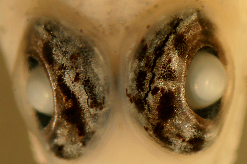 eyes of bartail goby