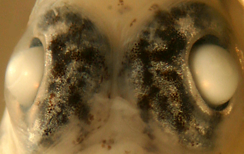 bartail goby eyes