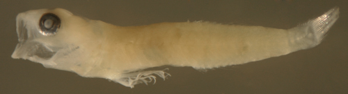 cleaner goby larvae