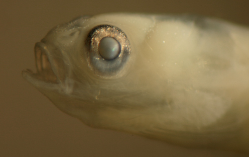 larval fish gobies and goby larvae