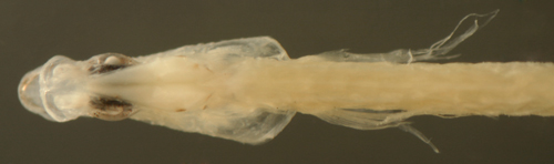 atlantic fish larvae
