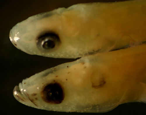 larval eleotris and gobioid larvae