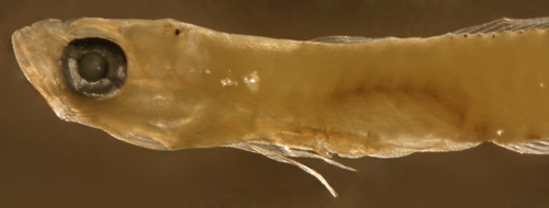 larval ptereleotris and gobioid larvae