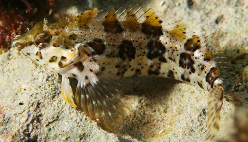 barfin blenny Louis Johnson