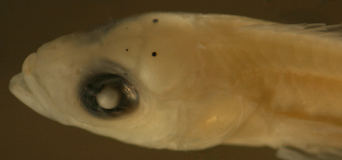 larval whitecheek blenny