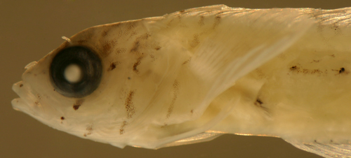 larval goldline blenny