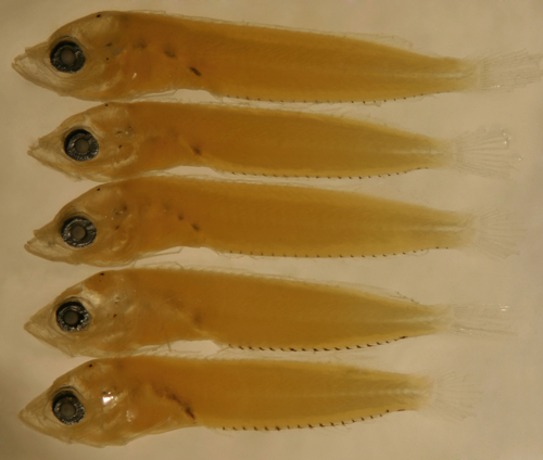 scaled blenny larvae