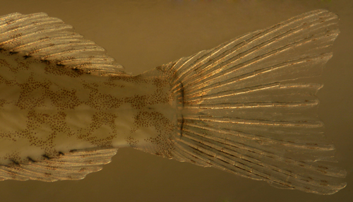 larval hairy blenny