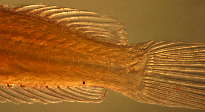 larval scaled blenny