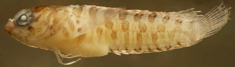 larval Starksia occidentalis