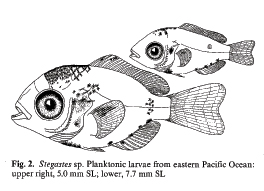 damselfish larvae